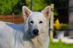 Berger Blanc Américain, Berger Blanc Canadien, Weisser Schweizer Schaferhund, White Swiss Shepherd Dog