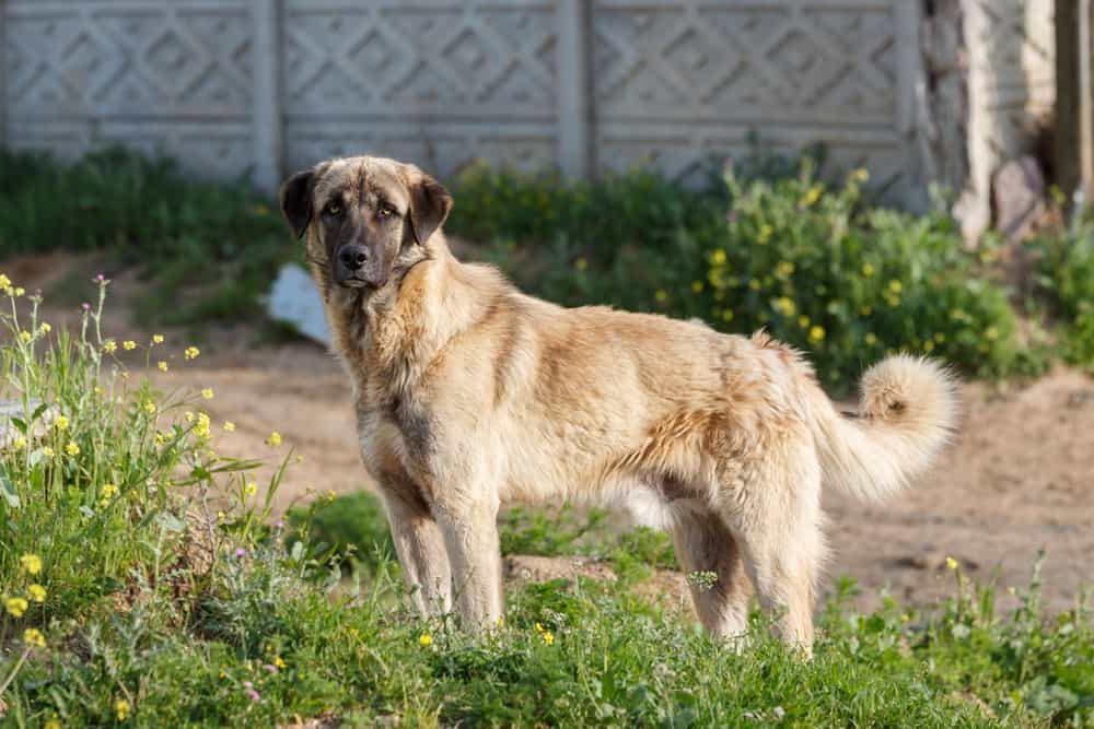 Kangal, Coban Köpegi, Anatolian Shepherd dog, Karabash grand chien