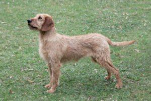 un chien brachet de styrie à poil dur sur un terrien avec plein herbe couleur chatain clair