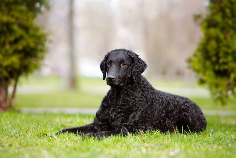 race chien curly coated retriever poil boucle