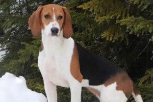 race chien dunker dans la neige couleur tan, noir et blanc sur la poitrine