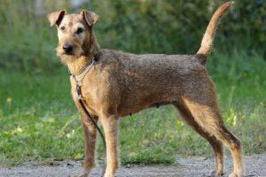 Chien race irish terrier