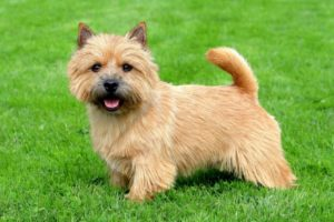 chien race norwich terrier : puppy adulte
