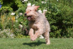 chien race otterhound : chiot , adulte