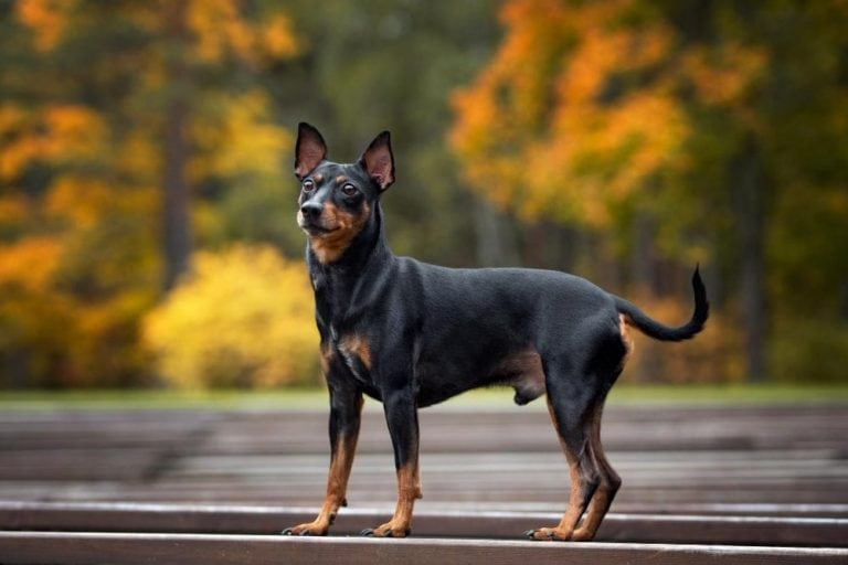 chien race pinscher nain : adulte, chiot