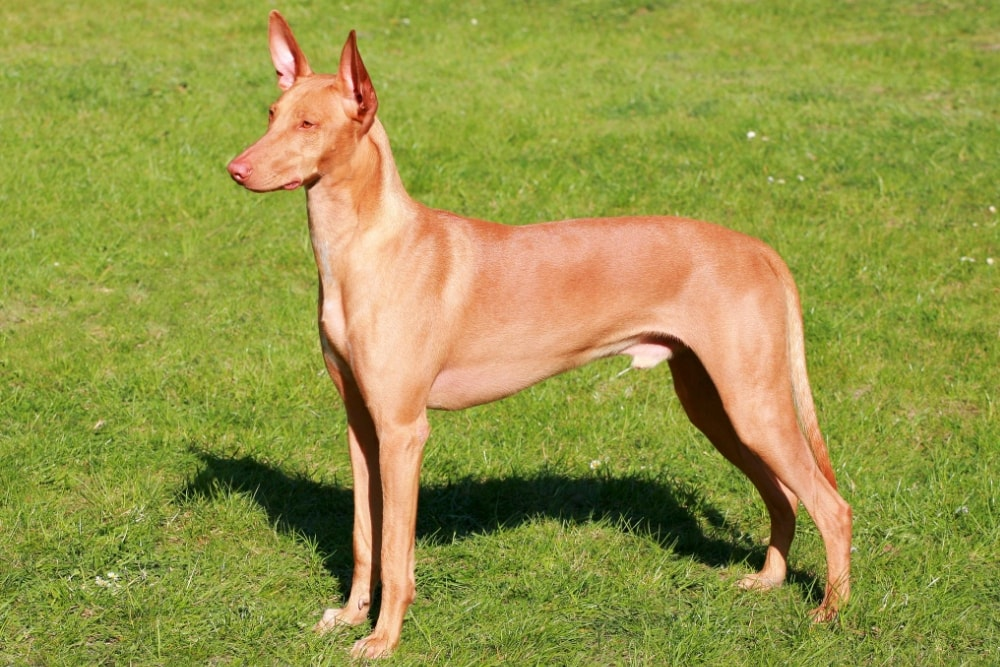 chien race Podenco canario : adulte, chiot
