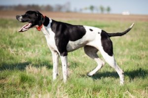 Chien race pointer anglais ; adulte, chiot