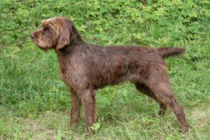 chien race pudelpointer : adulte, chiot
