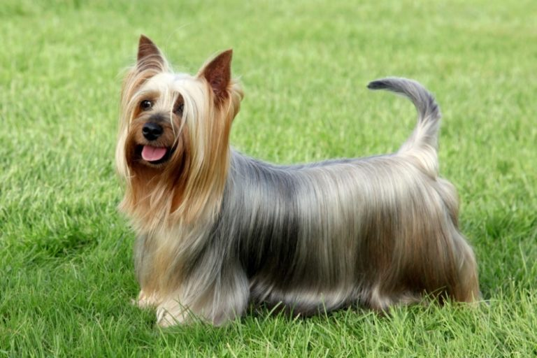 Chien silky terrier : adulte, chiot, prix
