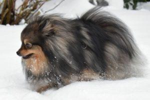 Chien race spitz nain : adulte, chiot dans la neige.