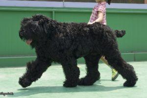 Chien race terrier noir russe : adulte, chiot avec une petite fille, corps noir, avec prix