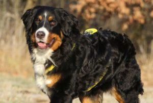 Bouvier de Berne, Dürrbächler, Bernese Mountain Dog, Berner Sennenhund