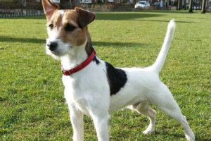 chien race parson russell terrier : chiot, adulte