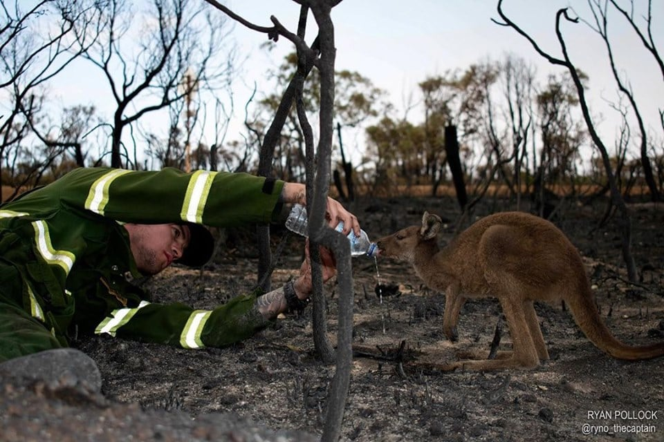kangourou incendies australie