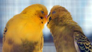 oiseau saint valentin 14 février fête amoureux