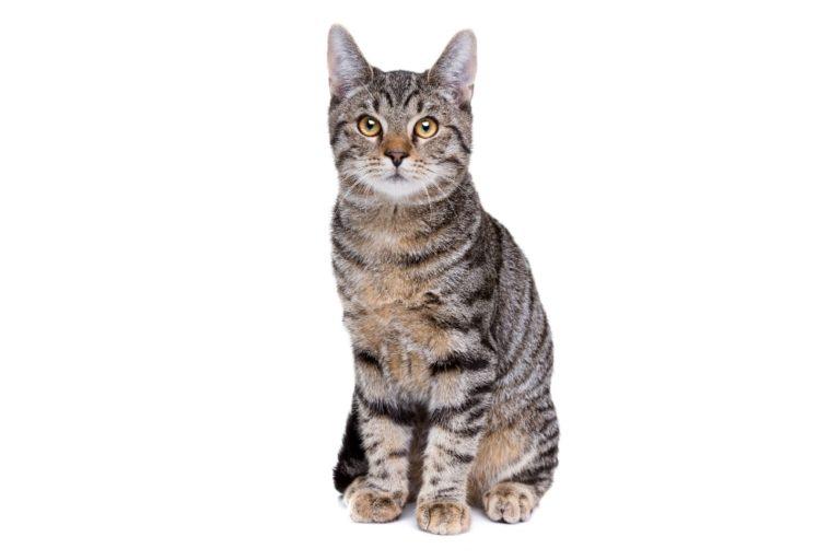 Chat race européen shorthair: adulte et chaton avec prix poils court et visage normal