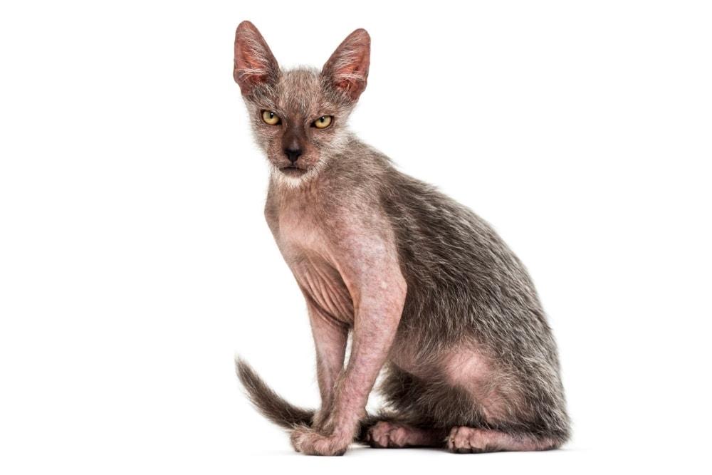 Chat race lykoi: adulte et chaton avec prix au couleur gris et le visage très mechant comme un loup