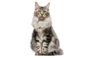 Chat race Maine coon: gros adulte et chaton avec prix et beaucoup de poils long