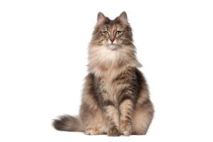 Chat race norvégien: adulte et chaton avec prix poils long marron et blanc