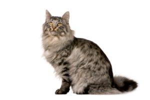 Chat race sibérien: adulte et chaton avec prix et plien de fourrue