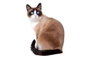 Chat race snowshoe: adulte et chaton avec prix au yeux bleu et couleur marron