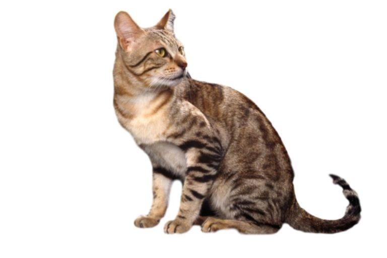 Chat race sosoke: adulte et chaton avec prix avec des lignes de raies sur le corps