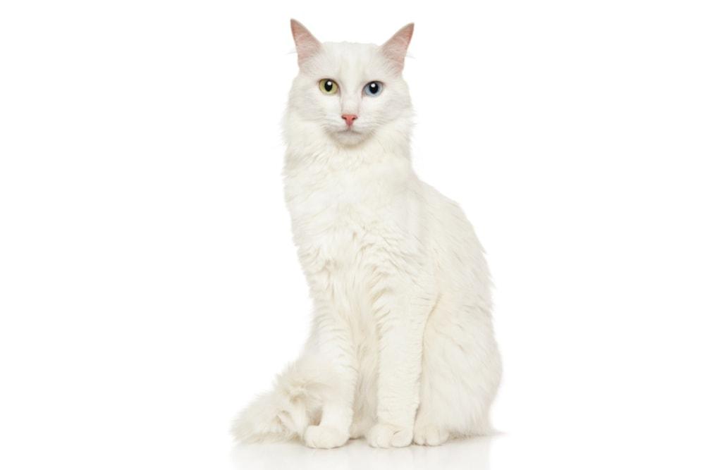 Chat race(turc de van) turkish van: adulte et chaton avec prix